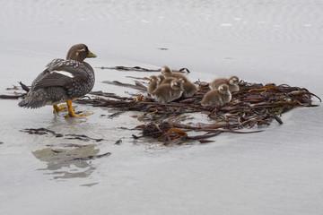 Falkland Steamer Duck (Tachyeres brachypterus) with chicks on a sandy beach on Sea Lion Island in the Falkland Islands