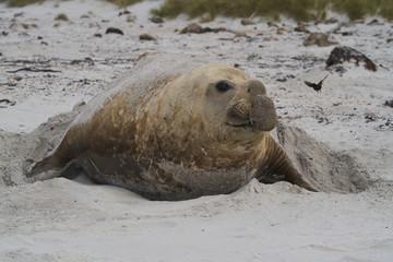 Large male Southern Elephant Seal (Mirounga leonina) on the coast of Sea Lion Island in the Falkland Islands.
