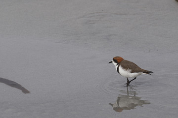 Two-banded Plover (Charadrius falklandicus) on a white sandy beach on Sea Lion Island on the Falkland Islands.