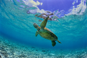 Fotobehang Schildpad 沖縄のビーチで泳ぐウミガメ