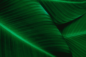 Wall Mural - closeup banana leaf texture in garden, abstract green leaf, large palm foliage nature dark green background
