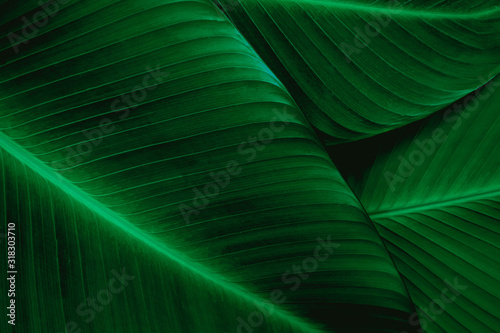 Wall mural closeup banana leaf texture in garden, abstract green leaf, large palm foliage nature dark green background