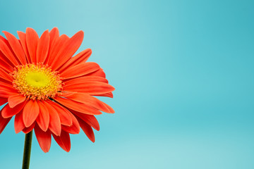 Tuinposter Gerbera partial view of a gerbera flower, Asteraceae, isolated on turquoise background