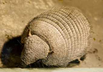 Animal Armadillo. It is a mammal found in Central and South America. A strong shell protects the upper part of the animal's body, it consists of solid plates.
