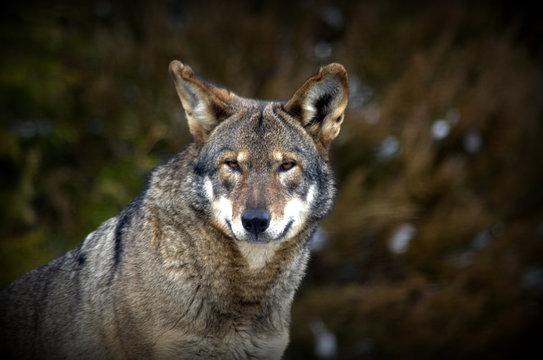 CLOSE-UP PORTRAIT OF wolf