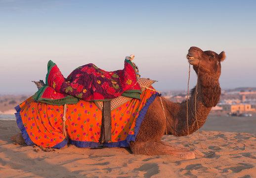 Camel waiting tourists for riding over dunes in Thar desert near Jaisalmer, Rajasthan, India