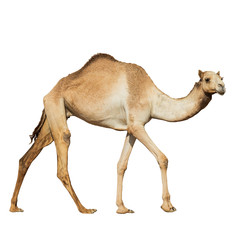 Poster Kameel Beautiful arabian camel isolated on white background