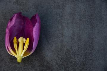 Canvas Prints Tulip Half tulp