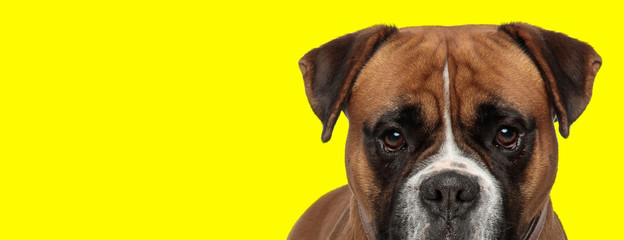 Foto op Aluminium Hond boxer dog with brown fur posing with big eyes
