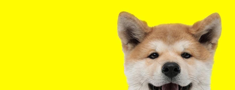 adorable akita inu dog with brown fur hiding