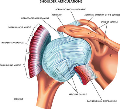 A detailed medical illustration of shoulder articulations.