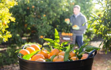 Ripe tangerines in a box in the garden