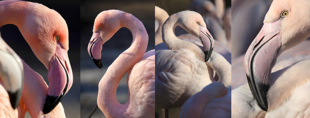 Foto op Textielframe Flamingo WROCLAW, POLAND - JANUARY 21, 2020: The American flamingo (Phoenicopterus ruber). It is the only flamingo that naturally inhabits North America. ZOO in Wroclaw, Poland.