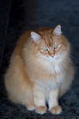Siberian cat that seems to be thoughtful