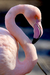 Keuken foto achterwand Flamingo WROCLAW, POLAND - JANUARY 21, 2020: The American flamingo (Phoenicopterus ruber). It is the only flamingo that naturally inhabits North America. ZOO in Wroclaw, Poland.