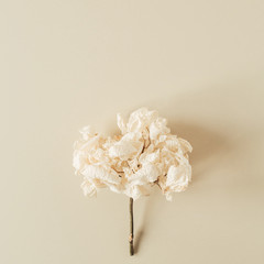 White hydrangea flower branch on pastel beige background. Flat lay, top view minimal floral card.