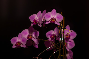 Wall Murals Orchid Orchidee