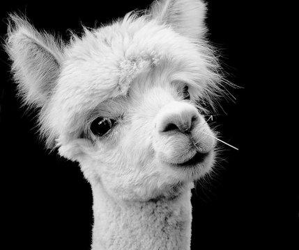 CLOSE-UP PORTRAIT OF alpaca AGAINST BLACK BACKGROUND