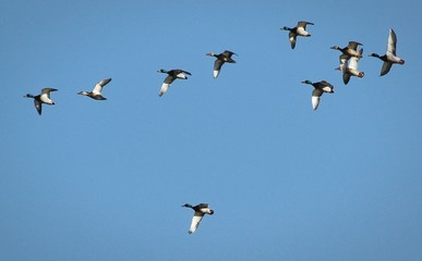 Fototapeta Low Angle View Of Ducks Flying Against Clear Blue Sky