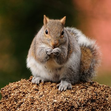Western Gray Squirrel staling bird food
