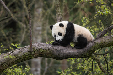 Giant panda, Ailuropoda melanoleuca, approximately 6-8 months old, sitting on a tree branch high in the forest canopy.