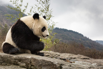 Wall Murals Panda Giant panda, Ailuropoda melanoleuca, sitting upright on rock in the mountains, eating bamboo.