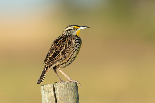astern Meadow Lark singing on fence post