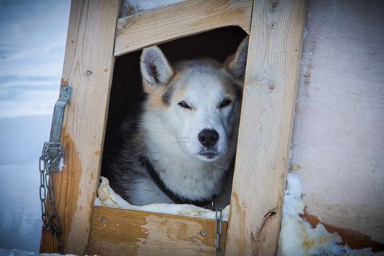 Siberian Husky Sitting On Wooden Box