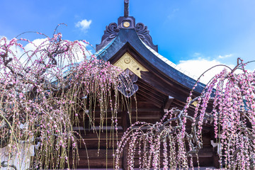 Türaufkleber Flieder 桜よりも可憐に咲くしだれ梅を知っていますか?