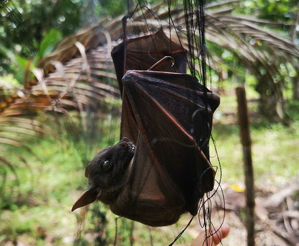 bat concept is the cause of spreading coronavirus in WUHAN China, netting bats.