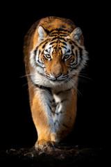 Photo sur Plexiglas Tigre Close up face tiger isolated on black background