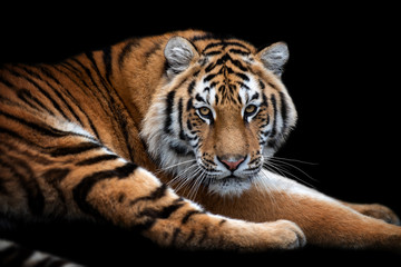 Wall Mural - Close up face tiger isolated on black background