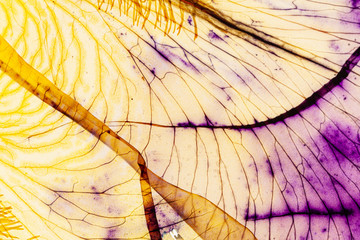 Foto op Plexiglas Iris iris petal on the white background