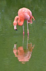 Pink flamingos, Phoenicopterus ruber, standing in a pool