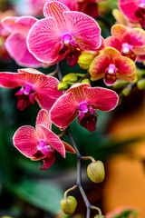 Tuinposter Orchidee Blooming phalaenopsis orchid