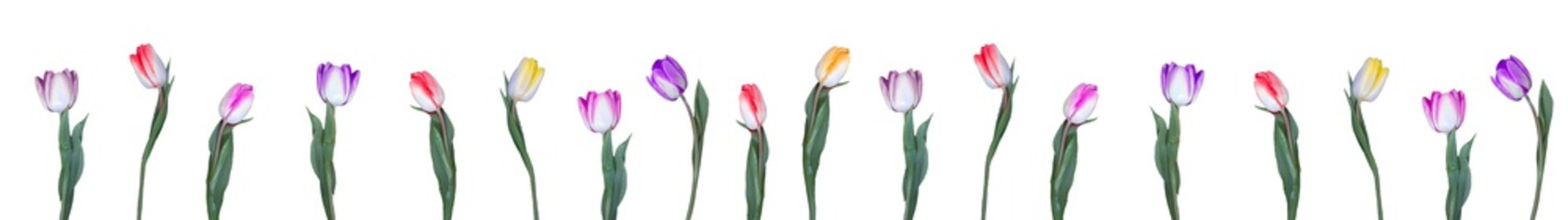Photo sur Plexiglas Tulip Many multicolored tulips in a row, isolated on white background banner panorama long