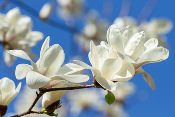 Wall Mural - White magnolia blossomed