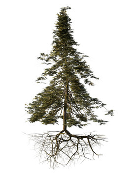 spruce tree with roots isolated on white background