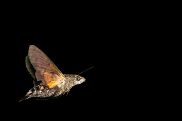 Close-Up Of Moth Flying Against Black Background