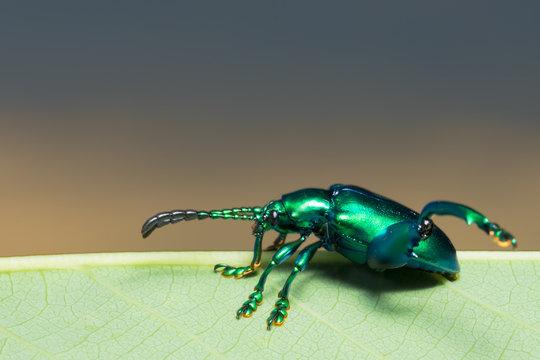 Close-Up Of Emerald Ash Borer On Leaf