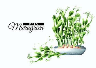Microgreens peas with green leaves. Vegan and healthy eating concept.Sprouting Microgreen. Seed Germination. Hand drawn watercolor illustration, isolated on white background