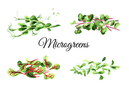 Microgreen spruits set. Vegan and healthy eating concept. Seed Germination. Hand drawn watercolor illustration, isolated on white background