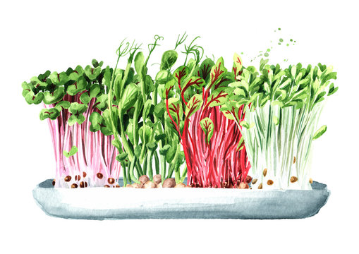 Microgreens. Vegan and healthy eating concept. Sprouting Microgreen. Seed Germination. Hand drawn watercolor illustration, isolated on white background