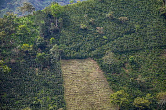 coffee plantation in Colombia