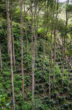 tall trees providing shadow to coffee crop