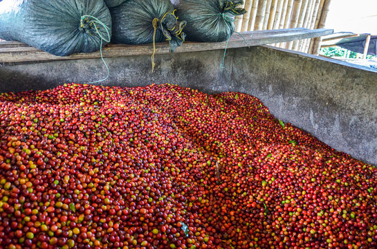 ripe coffee cherries collected to be proceeded