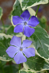 Blue flowers of vinca major, with weit-green leaves.