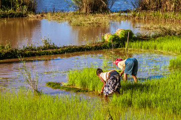 Malagasy farmers working rice