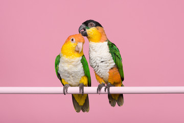 Two caique parrots caring for each other on a pink background Wall mural
