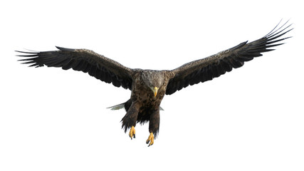 Photo sur Plexiglas Aigle Adult White-tailed eagle in flight. Isolated on White background. Scientific name: Haliaeetus albicilla, also known as the ern, erne, gray eagle, Eurasian sea eagle and white-tailed sea-eagle.
